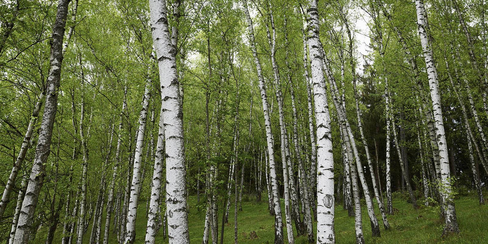 Birchtrees 21 WEB