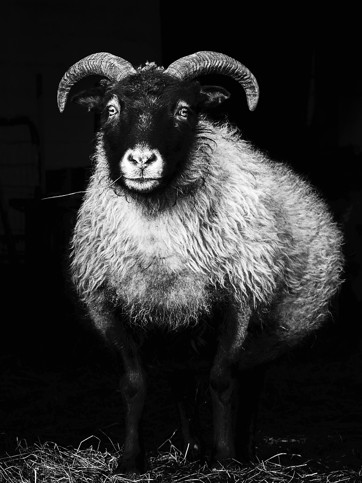Icelan Born in Fire ICELAND SHEEP 43 BW WEB