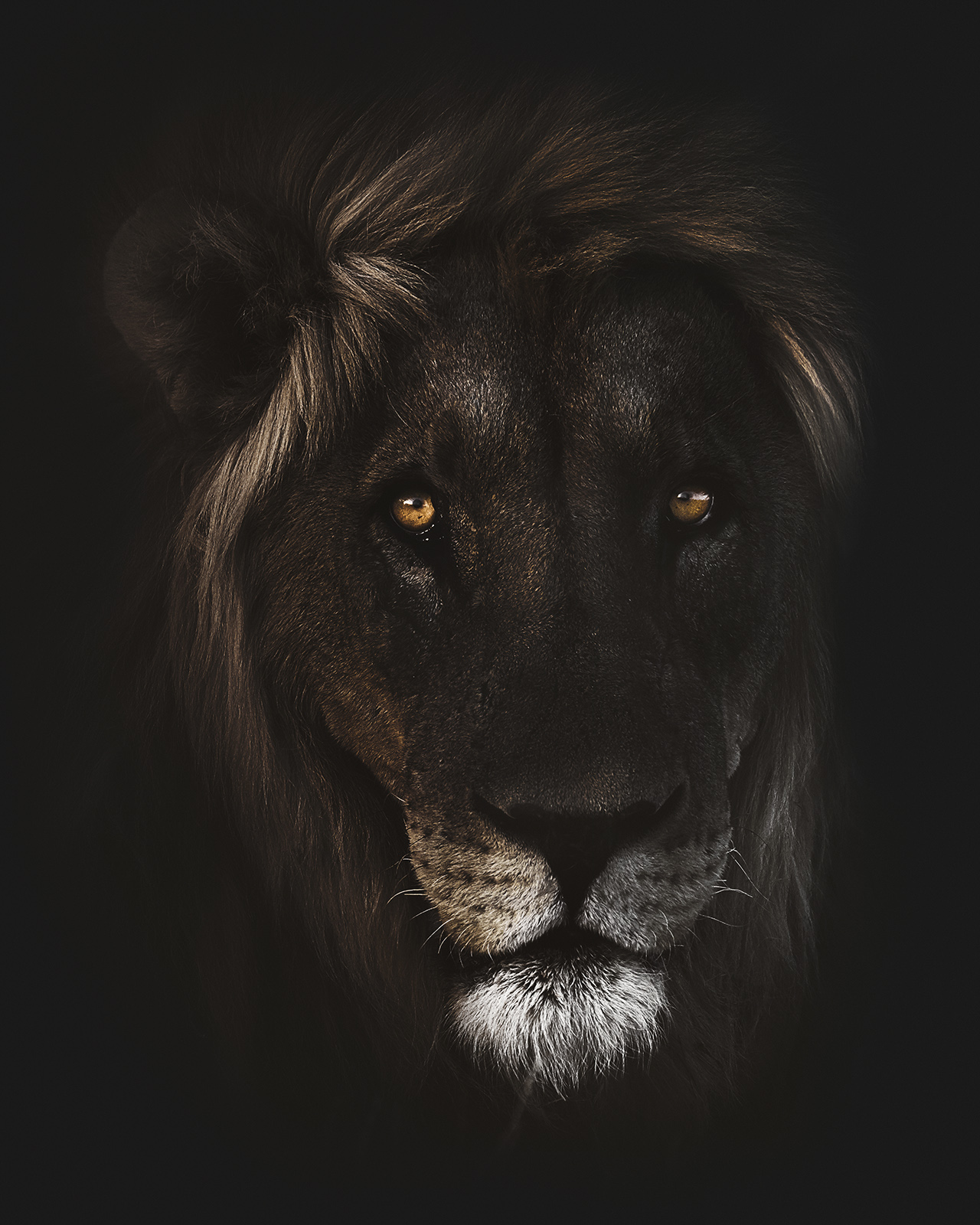 """""""Hannibal"""" Kopf eines Löwe mit Imposanter Mähne der aus der Dunkelheit kommt"""