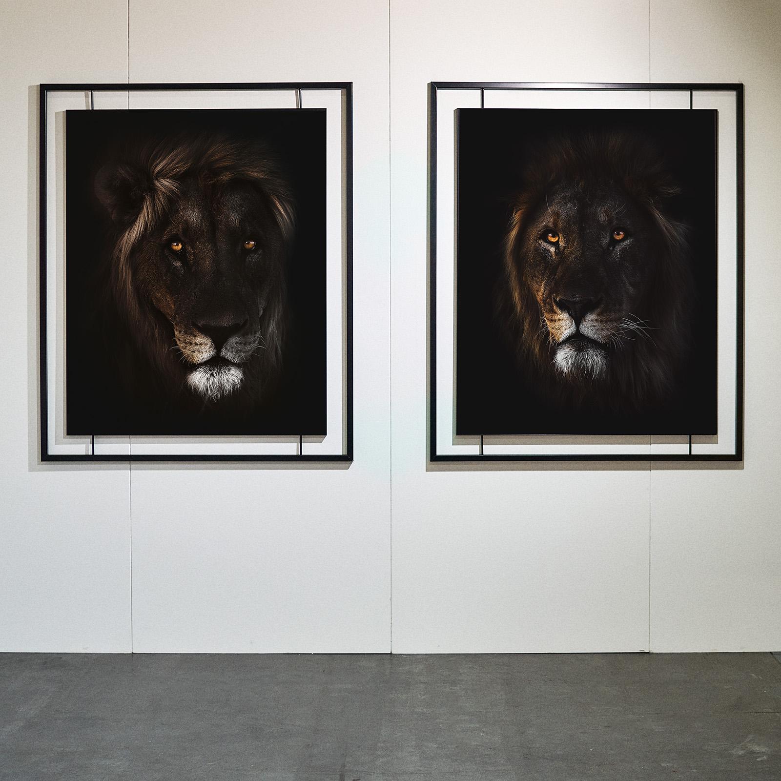 Kopf eines Löwe mit Imposanter Mähne der aus der Dunkelheit kommt