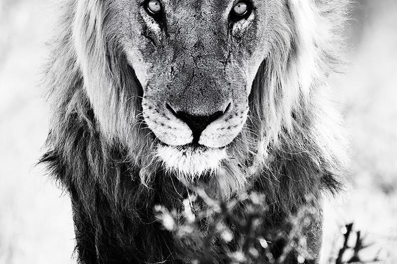 schwarz weiß Bild eines Löwen der auf einen zukommt